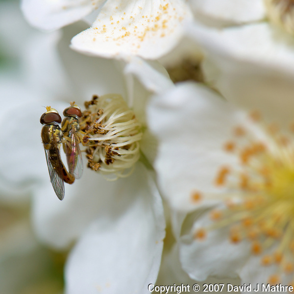 Pair of hover flies mating on wild raspberry flowers. Backyard spring nature in New Jersey. Image taken with a Nikon D2xs camera and 105 mm f/2.8 VR macro lens (ISO 100, 105 mm, f/11, 1/60 sec). (David J Mathre)