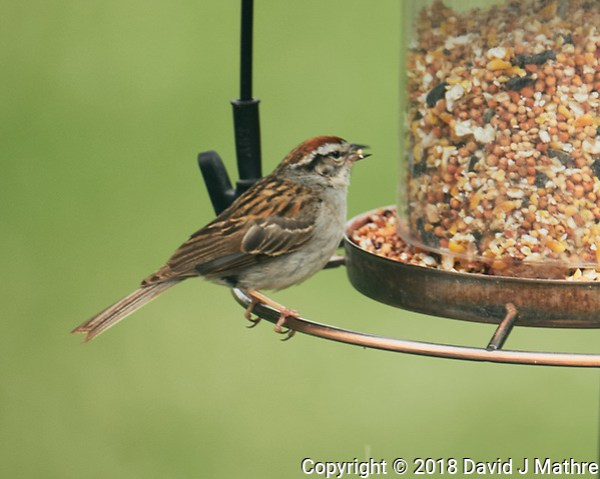 Chipping Sparrow. Image taken with a Fuji X-T2 camera and 100-400 mm OIS telephoto zoom lens (David J Mathre)
