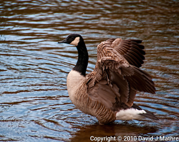 Canadian Goose in a Lake at the Sourland Mountain Preserve. Image taken with Nikon D300 and 18-200 VR lens. (David J Mathre)