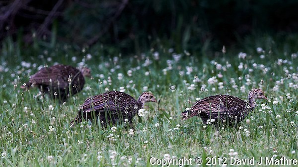 Young Wild Turkeys. Summer Nature in New Jersey. Image taken with a Nikon D800 and 500 mm f/4 VR lens (ISO 800, 500 mm, f/4, 1/250 sec). (David J Mathre)