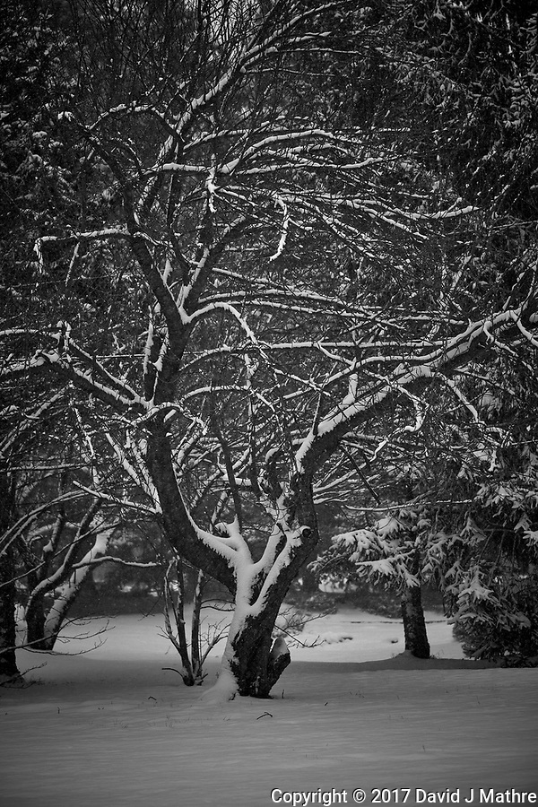 Tree in the snow. Our second snowstorm in two days. Winter has finally arrived. Fuji X-T1 camera and 90mm f/2 lens (ISO 200, 90 mm, f/2, 1/900 sec). (David J Mathre)