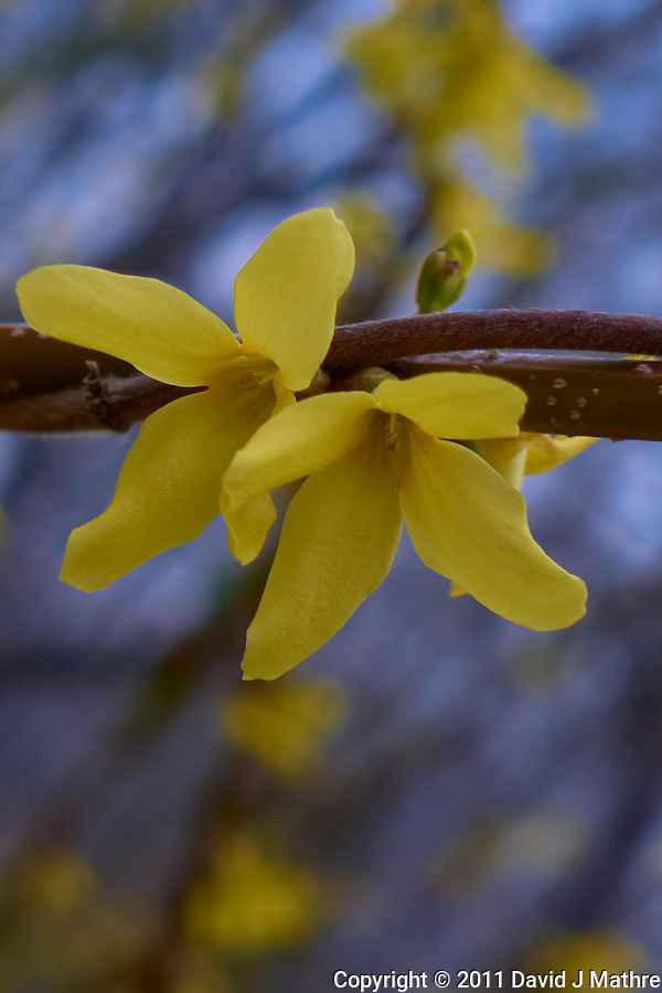 Forsythia Bloom. Spring in New Jersey. Image taken with a Leica D-Lux 5 (ISO 100, 19.2 mm, f/3.3, 1/50 sec) (David J Mathre)