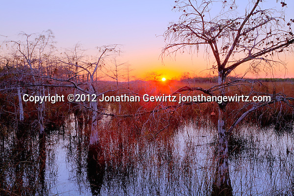 The rising sun backlights dwarf cypress trees in a wetland near Pa-hay-okee Overlook in Everglades National Park, Florida. (©2012 Jonathan Gewirtz jonathangewirtz.com)
