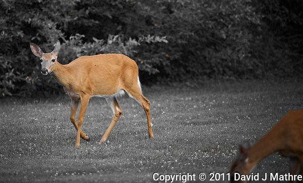 Deer in New Jersey. Image taken with a Nikon D3x and 500 mm f/4 lens (ISO 400, 500 mm, f/4, 1/200 sec). Image processed with Capture One 6 Pro. (David J Mathre)