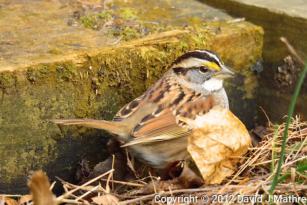 White-throated Sparrow. Backyard Winter Nature in New Jersey. Image taken with a Nikon 1 V2 camera and 600 mm f/4 VR lens (ISO 720, 600 mm, f/4, 1/320 sec). (David J Mathre)