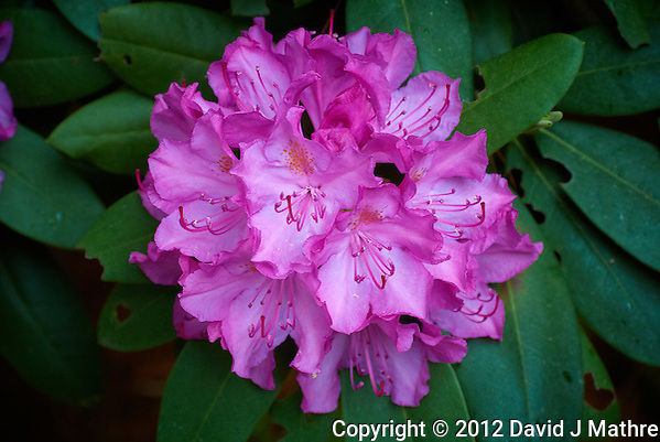 Cluster of Rhododendron Flowers. Image taken with a Nikon 1 V1 and 30-100 mm VR lens (ISO 400, 41.2 mm, f/4, 1/60 sec). Raw image processed with Phase One - Capture One Pro 6 (vivid, levels, vignetting). (David J Mathre)