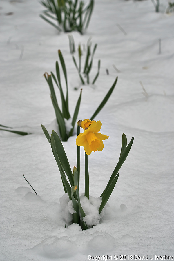 Lonely daffodil with snow in April -- Winter is not gone. Image taken with a Leica TL2 camera and 60 mm f/2.8 lens (ISO 100, 60 mm, f/6.3, 1/400 sec). (David J Mathre)