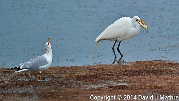 Ringed-Billed Gull Calling out like a Wolf for its Friends. (David J Mathre)