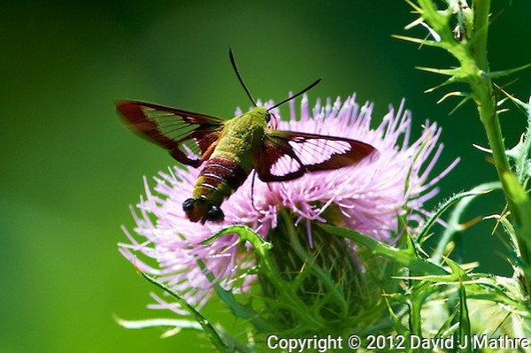 Clearwing Hummingbird Moth on a Thistle Bloom. Summer Nature in New Jersey. Image taken with a Nikon D4 and 300 mm f/2.8 VR lens (ISO 100, 300 mm, f/4, 1/500 sec). (David J Mathre)