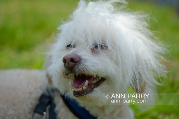Old Westbury, New York, USA. June 2, 2019. SAMMY, a 14-year-old Bichon Poo, a Bichon Poodle cross (Bichapoo), with white wooly hair blowing in the wind, wears a blue harness and is on a leash held by 'mom' Debbie Dugan, of Glen Head, as he looks around at the 53rd Annual Spring Meet Antique Car Show. Dugan entered her 1951 Chevy pickup truck in the show. Event was sponsored by the Greater NY Region (NYGR) of the Antique Car Club of America (AACA), at Old Westbury Gardens, a Long Island Gold Coast estate. (Ann Parry/Ann Parry, ann-parry.com)