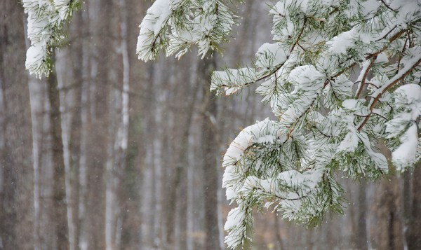 Snow covered pine branches against the backdrop of a hardwood forest. (Emily Naff)