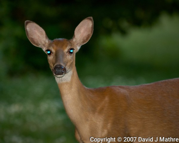 Doe with bright eyes reflecting the flash. Late-spring backyard nature in New Jersey. Image taken with a Nikon D2xs camera and 70-200 mm f/2.8 lens + 1.4 TC-E II teleconverter and SB-800 flash (ISO 100, 280 mm, f/4, 1/60 sec) (David J Mathre)