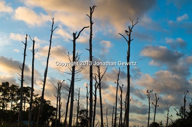 Morning sunlight silhouettes vultures perchied in dead trees in Jonathan Dickinson State Park, Hobe Sound (Jupiter), Florida. (Jonathan.Gewirtz@gmail.com)