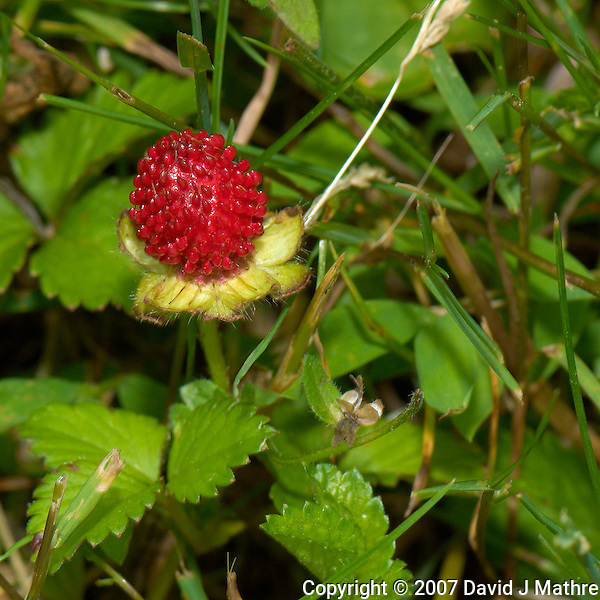 Wild Strawberry. Spring Nature in New Jersey. Image taken with a Nikon D2xs and 105 mm f/2.8 VR Macro Lens (ISO 100, 105 mm, f/11, 1/60 sec). Raw image processed with Capture One Pro 6, Focus Magic, Nik Color Efex Pro 3 (Tonal Contrast), Nik Define 2, and Photoshop CS5. . (David J Mathre)