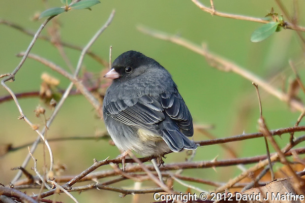 "Dark-eyed ""Slate-colored"" Junco. Backyard Winter Nature in New Jersey. Image taken with a Nikon 1 V2 camera and 600 mm f/4 VR lens (ISO 280, 600 mm, f/4, 1/500 sec). (David J Mathre)"