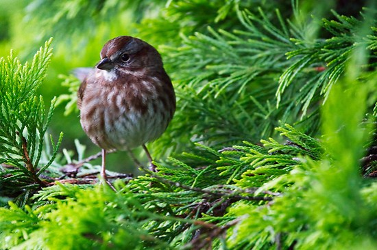 Song sparrow perched on branches of gold rider leyland cypress tree, Snohomish, Washington, USA (Brad Mitchell Photography)