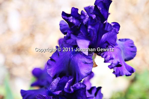 Purple iris flower. (Jonathan Gewirtz)