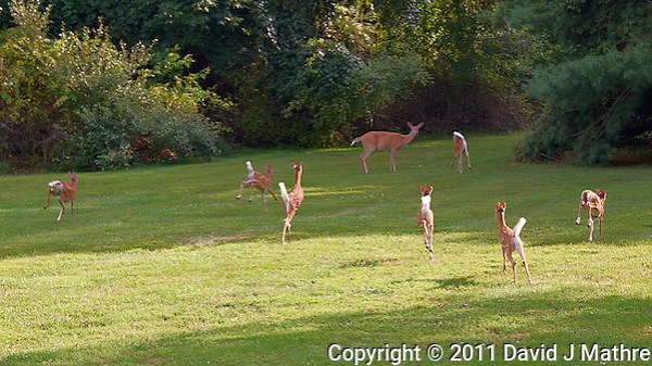 Seven Fawns Running and the Den Mother Doe in My Backyard. Summer Nature in New Jersey. Image taken with a Nikon D700 and 28-300 mm VR lens (ISO 200, 72 mm, f/5.6, 1/500 sec). (David J Mathre)