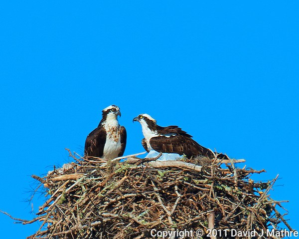 Osprey Couple on Their Grand Nest in Ft Desoto Park in Florida. Image taken with a Nikon D3x camera and 600 mm f/4 VR lens (ISO 100, 600 mm, f/8, 1/500 sec). (David J Mathre)
