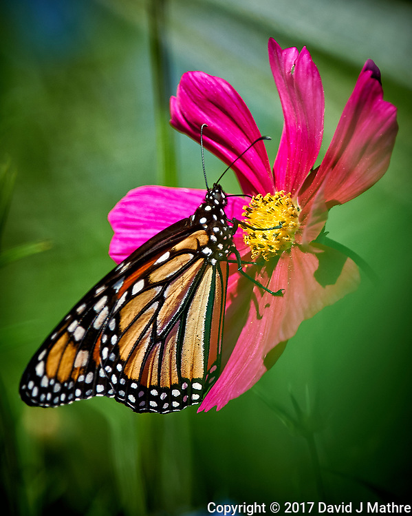First Monarch Butterfly of the season on a Red Cosmos wildflower. Backyard summer nature in New Jersey. Image taken with a Nikon D3x camera and 500 mm f/4 VR telephoto lens (ISO 100, 500 mm, f/4.5, 1/500 sec). (David J Mathre)