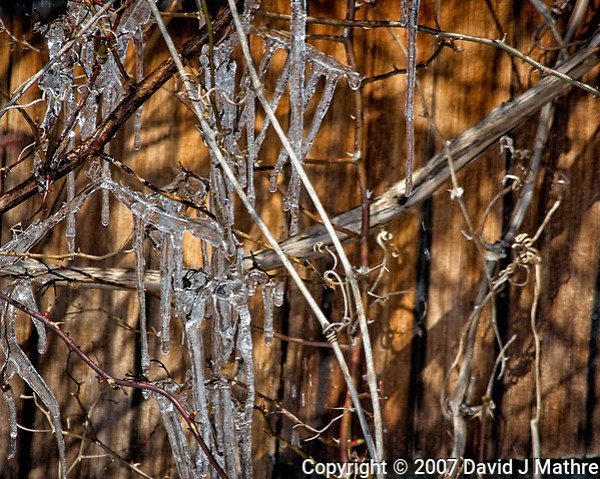 Icicles on the vines. Late winter backyard nature in New Jersey. Image taken with a Nikon D2xs camera and 80-400 mm VR lens (ISO 400, 400 mm, f/9.5, 1/500 sec). (David J Mathre)