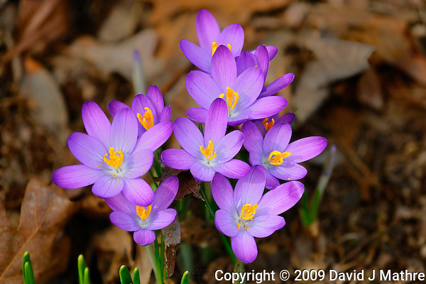 Early Purple Crocuses. Image taken with a Nikon D3x and 200 mm f/4 macro lens (ISO 200, f/5.6, 1/500 sec) (David J. Mathre)