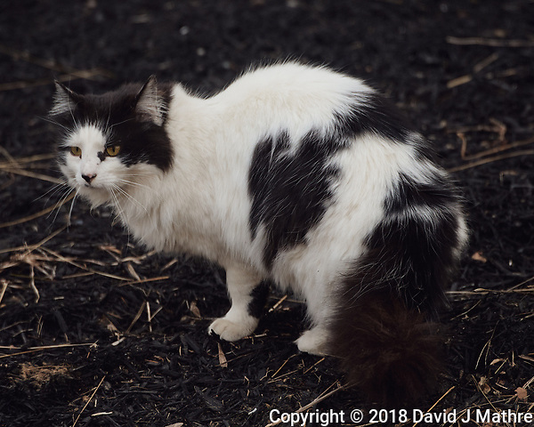 Black & White Neighborhood Cat. Image taken with a Nikon D5 camera and 80-400 mm VRII lens (ISO 720, 400 mm, f/5.6, 1/400 sec). (David J Mathre)