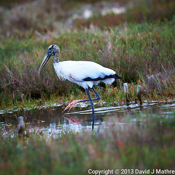 Wood Stork in Merritt Island National Wildlife Refuge. Image taken with a Nikon D4 and 300 mm f/2.8 VR lens (ISO 1600, 300 mm, f/2.8. 1/160 sec). (David J Mathre)