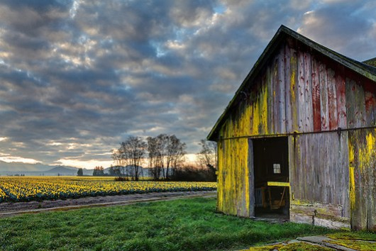 Barn and daffodils blooming on a Skagit Valley farm opperated by the Washington Bulb Company