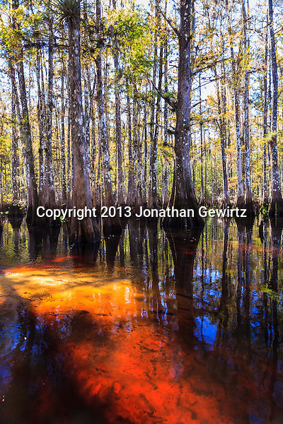 Cypress trees amid the tannin-colored waters of Fisheating Creek in Florida's Fisheating Creek Wildlife Management Area (WMA). WATERMARKS WILL NOT APPEAR ON PRINTS OR LICENSED IMAGES. (Jonathan Gewirtz   jonathan@gewirtz.net)