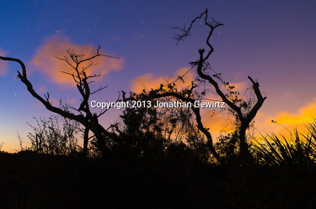 Scrubland trees and shrubs silhouetted against the night sky at Jonathan Dickinson State Park, Hobe Sound (Jupiter), Florida. (Jonathan.Gewirtz@gmail.com)
