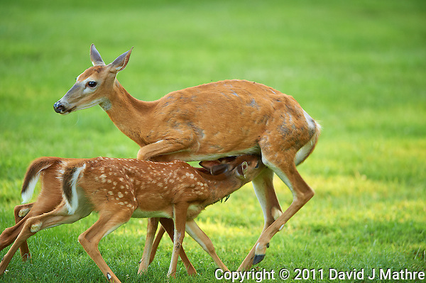Milking Time Twin Fawns and Doe. Summer Backyard Nature in New Jersey. Image taken with a Nikon D3s camera and 400 mm f/2.8G II lens (ISO 450, 400 mm, f/2.8, 1/400 sec). (David J Mathre)