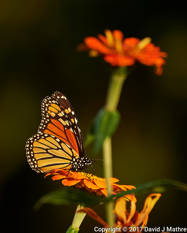 Monarch Butterfly working a late autumn wildflower. Backyard Nature in New Jersey. Image taken with a Nikon D4 camera and 80-400 mm VR telephoto zoom lens (ISO 250, 400 mm, f/5.6, 1/400 sec). (David J Mathre)