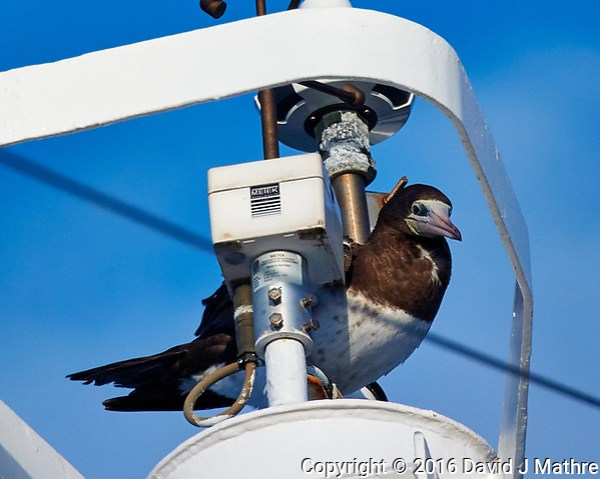 Brown Booby on the Mast of the MV World Odyssey. Image taken with a Nikon 1 V3 camera and 70-300 mm lens (ISO 200, 300 mm, f/5.6, 1/800 sec). (David J Mathre)
