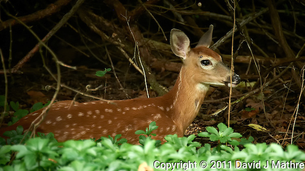 Resting Fawn. Backyard Nature in my Backyard -- Summer in New Jersey. Image taken with a Nikon D700 and 28-300 mm lens (ISO 1600, 300 mm, f/5.6, 1/30 sec). Raw image processed with Capture One Pro 6, Nik Define 2, and Photoshop CS5. (David J Mathre)
