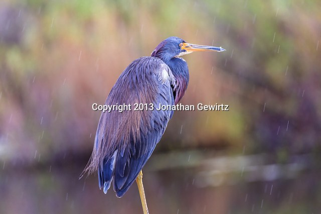 A Tricolored Heron (Egretta tricolor) perches in the rain on a handrail at the Anhinga Trail on Taylor Slough in Everglades National Park, Florida. (Jonathan Gewirtz   jonathan@gewirtz.net)