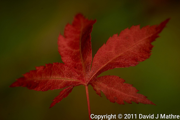 Spring Maple Leaf. Image taken with a Nikon D3x and 105 mm f/2.8 VR Macro with a TC-E 20 III  (ISO 100, 210 mm, f/11, 1/200 sec). Raw image processed with Capture One Pro, Focus Magic, and converted to jpg/sRGB with Photoshop CS5. (David J Mathre)