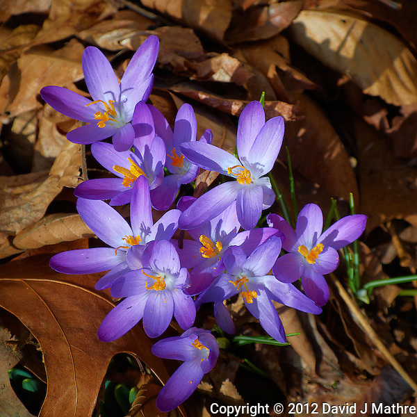 Early Purple Crocuses -- Spring is Coming. Image taken with a Nikon 1 V1 and 10-100 mm lens (ISO 100, 53 mm, f/5.6, 1/320 sec). (David J Mathre)