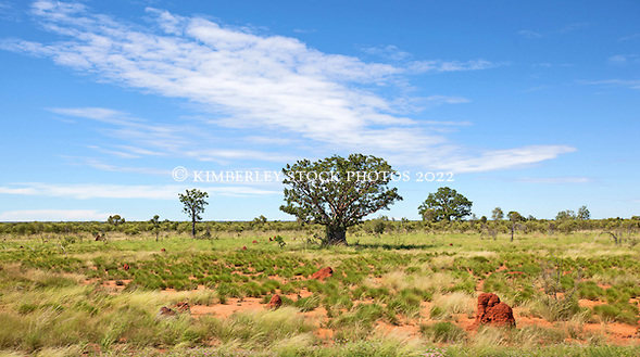 Several boabs scattered amongst spinifex termite mounds on the road to Fitzroy Crosing in the Kimberley wet season.  The spinifex termites build mounds that can reach several meters in height. (Annabelle Sandes/© Annabelle Sandes | Kimberley Media 2010)