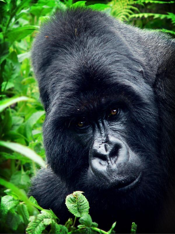 gorilla_rwanda