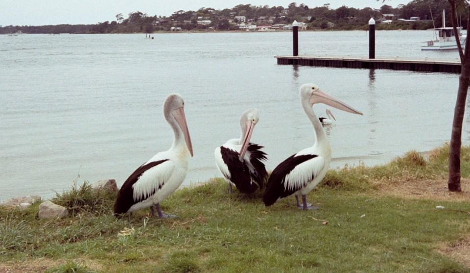 Pelicans | Canon Elph 2 | Fujifilm Nexia A200 (expired – shot by previous owner of camera)