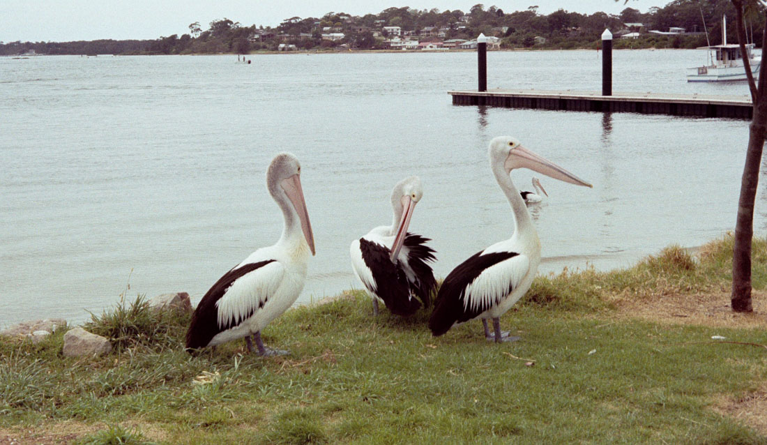 Pelicans | Canon Elph 2 | Fujifilm Nexia A200 (expired – shot by previous owner of camera)