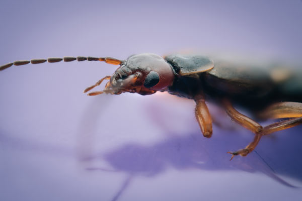 European earwig captured with α7R II and 90mm Sony Macro Lens: Photo by Mikael Buck
