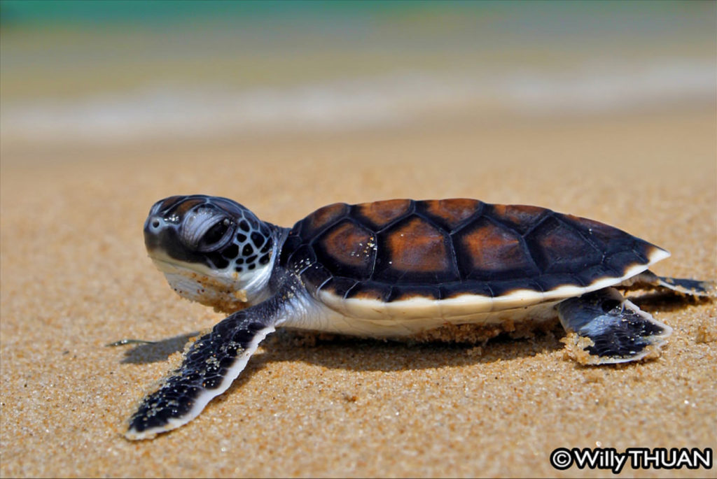 Baby turtle release in Phuket