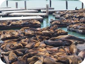 pier 39 sea lions