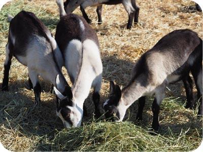 bodega goat farm