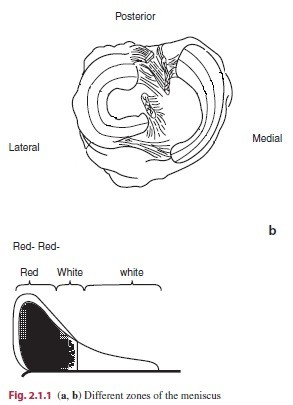 Meniscus Anatomy Definition - Human Anatomy