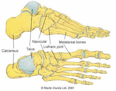 Anatomy of foot and metatarsal  bones