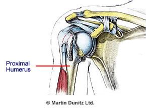 Anatomy of the Proximal Humerus