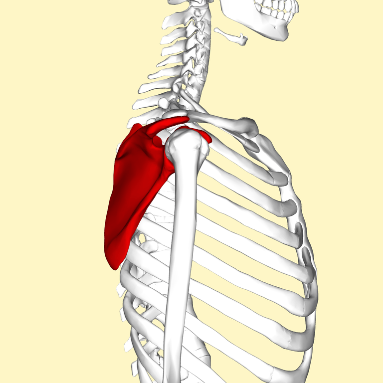 Scapula_-_lateral_view3